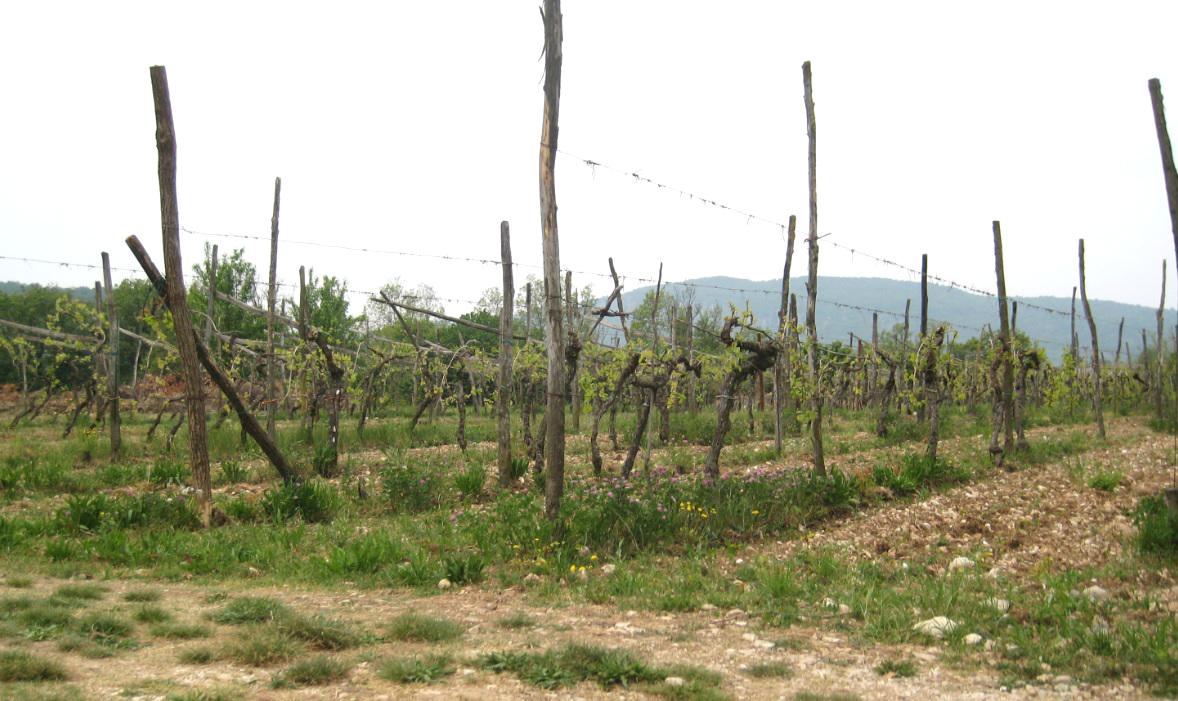 Weinanbau in Peschiera del Garda